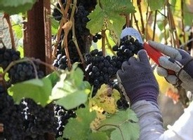 Pinot Noir Harvest at Fog Crest Vineyard